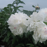 Using Peonies to Attract Tiphia Parasitoids