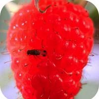Fruit Workshop I: Pests & Diseases of Small Fruits