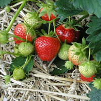 BF: 105 Fruit Production for Small Scale Farming