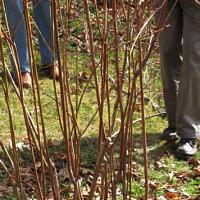 UConn Advanced Master Gardeners- Plant Pruning Basics